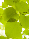 Leaves of Linden Tree, Botanic Gardens Fotografie-Druck von Greg Elms