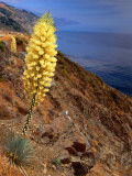 Blooming Yucca Along South Coast Fotografisk trykk av Douglas Steakley