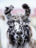 Portrait of a Llama, Estancia Rio Penitente, Near Punta Arenas, Patagonia Fotografie-Druck von Holger Leue