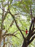 Keeper Climbing Tree at Masae Elephant Camp Fotografie-Druck von Felix Hug