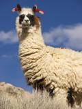 Alpaca (Vicugna Pacos) Fotografie-Druck von John Elk III