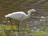 Great White Heron in Elkhorn Slough Fotografisk trykk av Douglas Steakley