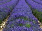 Lavender Fields. Photographic Print by Doug McKinlay