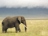African Elephant (Loxodonta Africana) Fotografie-Druck von Ariadne Van Zandbergen