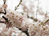 Cherry Blossums (Sakura) on Mount Hakodate Stretched Canvas Print by Shayne Hill
