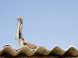 Pelican on Roof. Reproduction photographique par Sabrina Dalbesio