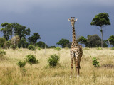 Maasai Giraffe (Giraffa Camelopardalis Tippelskirchi) Fotografie-Druck von Ariadne Van Zandbergen