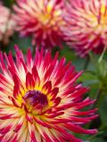 Dahlia Flowers at the Dahlia Garden in Golden Gate Park Reproduction photographique par Sabrina Dalbesio