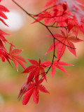 Red Maple Leaves at Okochi-Sanso Villa Teahouse and Gardens Reproduction photographique par Brent Winebrenner