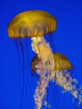 Jellyfish in Monterey Bay Aquarium Fotografie-Druck von Douglas Steakley