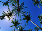 Palm Trees from Below at Anakena Fotografisk tryk af Peter Hendrie
