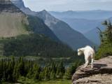 Mountain Goat (Oreamnos Americanus) Fotografisk tryk af Mark Newman