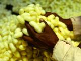 Hands Holding Silk Cocoons 写真プリント : トム・コックレム