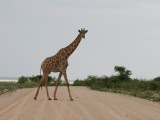 Giraffe Crossing the Road Photographic Print by Uros Ravbar
