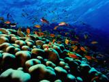 School of Anthias over Brain Coral - Red Sea, Ras Mohammed National Par Fotografisk trykk av Mark Webster