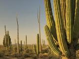 Cirio Trees and Cardon Cacti Near Catavina Photographic Print by Witold Skrypczak