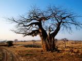 Vehicle Track Beside Baobab Tree, Singida Reproduction photographique par Mark Daffey
