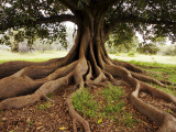 Fig Tree in Queens Park Photographic Print by Oliver Strewe