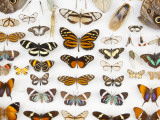 Butterfly Collection at Finca Hartmann Photographic Print by Alfredo Maiquez
