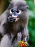 Dusky Langur at Wild Animal Refuge, Baan Talae Nork 写真プリント : トム・コックレム
