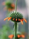 Flower known Locally as Flor De Cardo Fotografisk tryk af Paul Kennedy