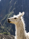 Llama (Lama Glama) Reproduction photographique par Brent Winebrenner