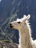 Llama (Lama Glama) Photographic Print by Brent Winebrenner