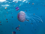 Purple Ocean Jelly Fish, Ras Banas, Red Sea Reproduction photographique par Mark Webster