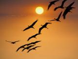 Sandhill Crane (Grus Canadensis) Migration Along Platte River Fotografisk tryk af Mark Newman