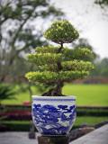 Bonsai Tree at Thai Hoa Palace Photographic Print by Tony Burns