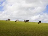 Friesian Dairy Cows Grazing Stampa fotografica di Rodney Hyett