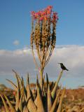 Blooming Aloe Littoralis Photographic Print by Uros Ravbar