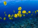 Masked Butterfly Fish 写真プリント : マーク・ウェブスター