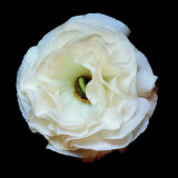 Ranunculus 1 Vinilo decorativo