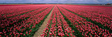 Tulips Near Alkmaar, Netherlands Wallstickers af Panoramic Images,
