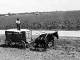 African-American Farmer Standing in Cart Filled With Cotton Drawn By Mules, Louisiana Fotografisk trykk av H. Armstrong Roberts