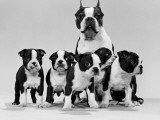 Boston Terrier and Puppies Fotografisk tryk af H. Armstrong Roberts
