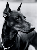 Doberman Pinscher Dog Photographic Print by H. Armstrong Roberts