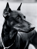 Dobermann Pinscher Fotografisk trykk av H. Armstrong Roberts