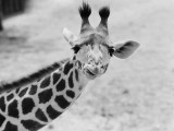 Giraffe Photographic Print by H. Armstrong Roberts