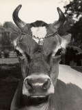 Jersey Cow Photographic Print by George Marks