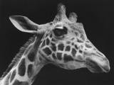 Giraffe's Head (B&W) Photographic Print by George Marks