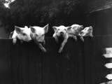 Wall Pigs Photographic Print