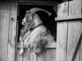 Old Goat Fotografie-Druck
