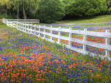 Texas Bluebonnets and Paintbrush Along White Fence Line, Texas, USA Fotografisk tryk af Julie Eggers