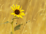 Prairie Sunflower at Palouse Falls State Park, Washington, USA Stampa fotografica di Chuck Haney