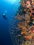 Diver With Light Next To Vertical Reef Formation, Pantar Island, Indonesia Fotografisk trykk av  Jones-Shimlock