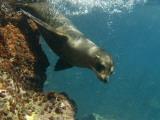Galapagos Sealion, Gardner Bay, Española Island, Galapagos Islands, Ecuador Lámina fotográfica por Pete Oxford