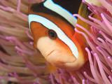 Anemonefish, Tukang Besi/Wakatobi Archipelago Marine Preserve, South Sulawesi, Indonesia Fotografie-Druck von Stuart Westmorland