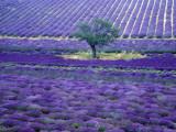 Lavender Fields, Vence, Provence, France Photographic Print by Gavriel Jecan